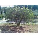 Ceratonia siliqua / Algarrobo 20 semillas