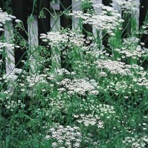 Pimpinella anisum / Anis 150 graines