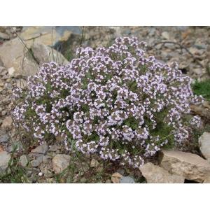 Thymus vulgaris / common thyme 100 seeds