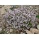 Thymus vulgaris / thym 100 graines
