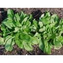Valeriana locusta / Valeriana, hierba de los canonigos 100 semillas