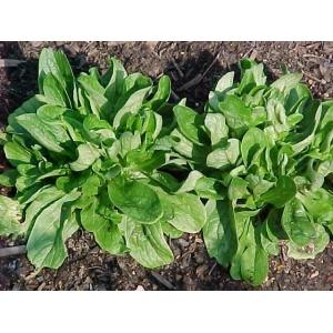 Valeriana locusta / Corn Salad, Mache, Lamb's Lettuce 100 seeds