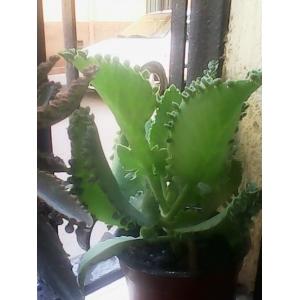1 planta de 5 cm. aprox. Kalanchoe daigremontiana (Espinazo del diablo, aranto)