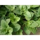 Origanum vulgare / Oregano 200 seeds