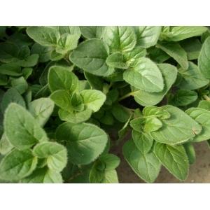 Origanum vulgare / Orégano 200 semillas