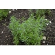 Satureja hortensis / Savory 200 graines