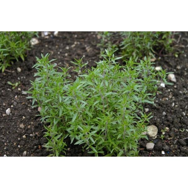 Satureja hortensis ajedrea saborilla 200 semillas for Ajedrea de jardin