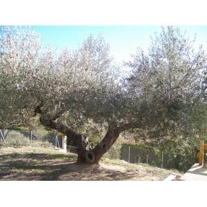 Olea europaea / Olivo 20 semillas