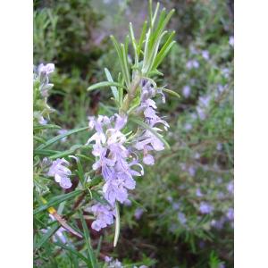 Romarin (Rosmarinus officinalis) 30 graines