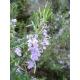 Rosemary (Rosmarinus officinalis) 30 seeds
