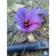 Crocus sativus / Safran 50 bulbes