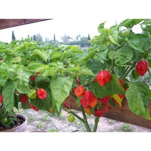 Habanero - Capsicum chinense 50 seeds