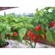 Habanero - Capsicum chinense 50 semillas