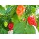 Habanero - Capsicum chinense 100 semillas