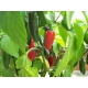 Jalapeño Capsicum annuum 100 seeds