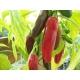 Jalapeño Capsicum annuum 20 semillas