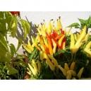 Candlelight Riot - capsicum annumm 40 semillas
