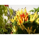 """Candlelight """"Riot"""" chile  - capsicum annumm 40 seeds"""