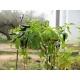 chile negro - capsicum annumm 100 semillas