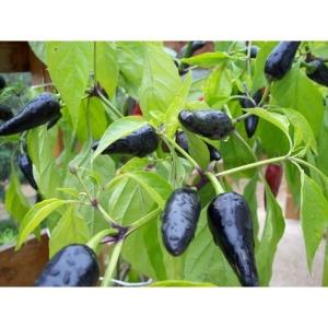 chile negro -  50 semillas - capsicum annumm