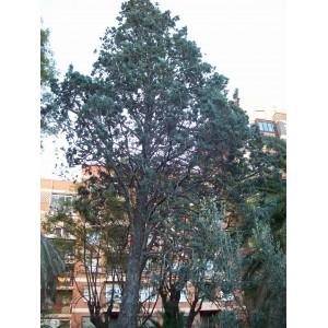 Cupressus arizonica (Cypress bleu) 30 graines