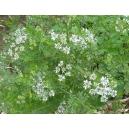 Cilantro (Coriandrum sativum) 80 semillas