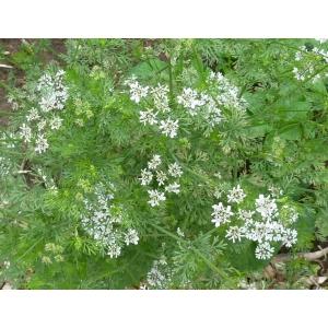 Coriandre (Coriandrum sativum) 80 graines
