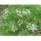 Coriander, Cilantro, Chinese Parsley (Coriandrum sativum) 80 seeds