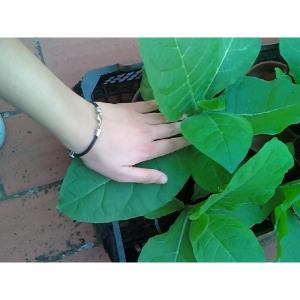 Virginia Dark tabaco ( nicotiana tabacum)  500 semillas