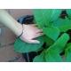 Virginia Dark ( nicotiana tabacum)  500 semillas