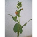 Nicotiana glutinosa 500 graines