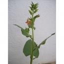 Nicotiana glutinosa 500 seeds