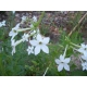 Nicotiana affinis tabaco jazmin 500 graines