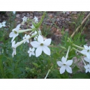 Nicotiana affinis tabaco jazmin 500 graines