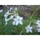 Nicotiana affinis tabaco jazmin 500 semillas