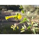 Nicotiana glauca / palan palan 500 semillas