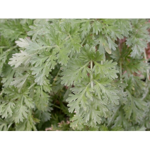 Ajenjo, absenta // Artemisia absinthium 500 semillas