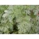 Absinthe grande // Artemisia absinthium 500 graines