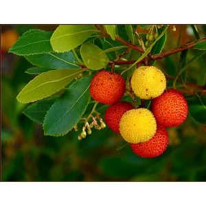 strawberry tree, Madrone, Madroño // Arbutus unedo 40 seeds