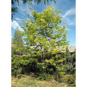 Gleditsia triacanthos/ Acacia tres espinas 20 semillas
