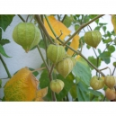 Physalis peruviana 100 seeds