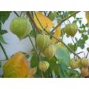 Physalis peruviana  semillas