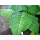 Monte Calme Yellow tabaco (nicotiana tabacum) +500 semillas
