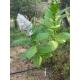 BAIANO tobacco (nicotiana tabacum) +500 seeds
