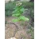 BAIANO tabaco (nicotiana tabacum) +500 semillas