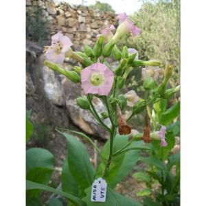 ALIDA tabaco ( nicotiana tabacum) +500 semillas
