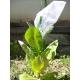 ALIDA tobacco ( nicotiana tabacum) +500 seeds