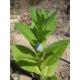 BALIKESIR tabaco oriental (nicotiana tabacum) +500 semillas
