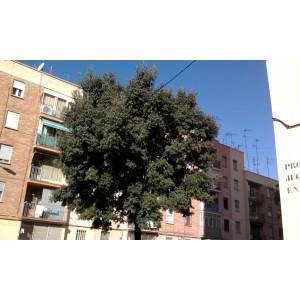 Quercus ilex L. / Encina 10 Graines