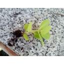 Crásula multicava 1 planta 5cm. aprox.